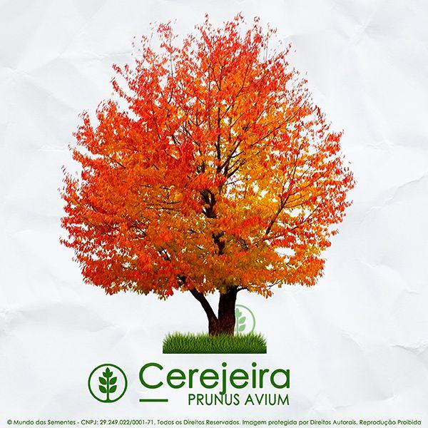 Sementes de Cerejeira / Cereja Doce – Prunus avium - Mundo das Sementes
