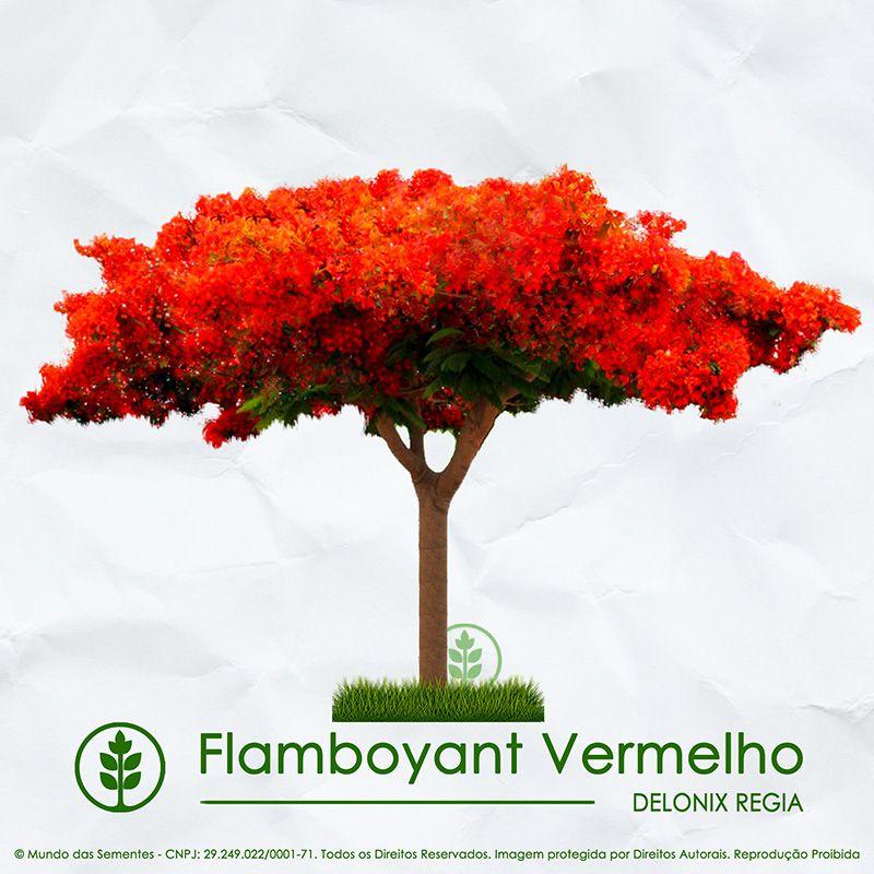 Sementes de Flamboyant Vermelho - Delonix regia - Mundo das Sementes