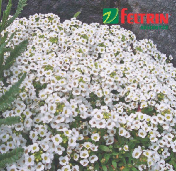 Sementes de Flor-de-mel - Alyssum Benthami - Feltrin