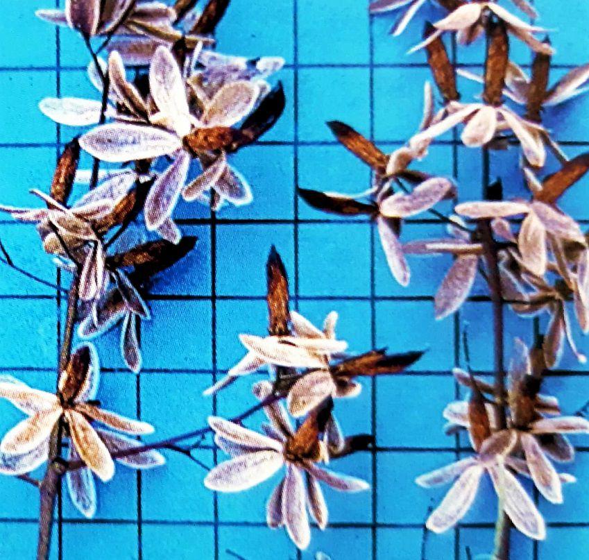 Sementes de Gonçalo Alves - Astronium Fraxinifolium - Mundo das Sementes