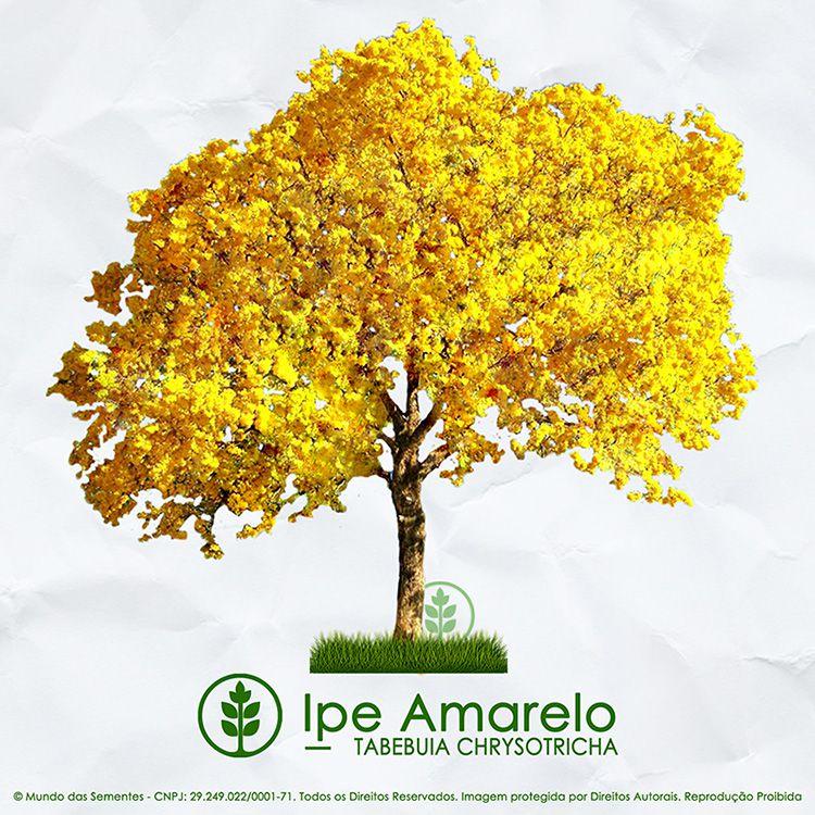 Sementes de Ipê Amarelo Dourado - Tabebuia chrysotricha - Mundo das Sementes
