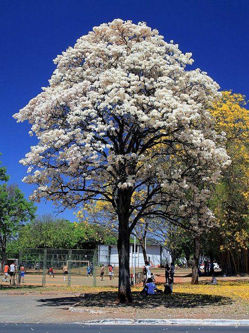 Sementes de Ipê Branco - Tabebuia roseoalba - Mundo das Sementes