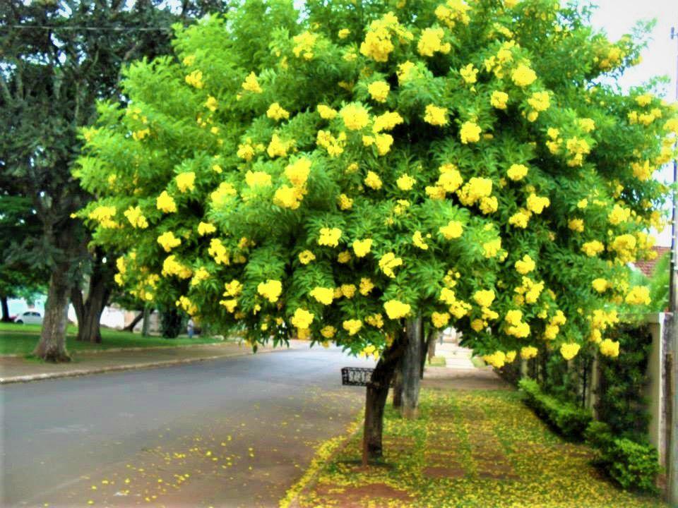 Sementes de Ipê Mirim de Jardim - Tecoma stans - Mundo das Sementes