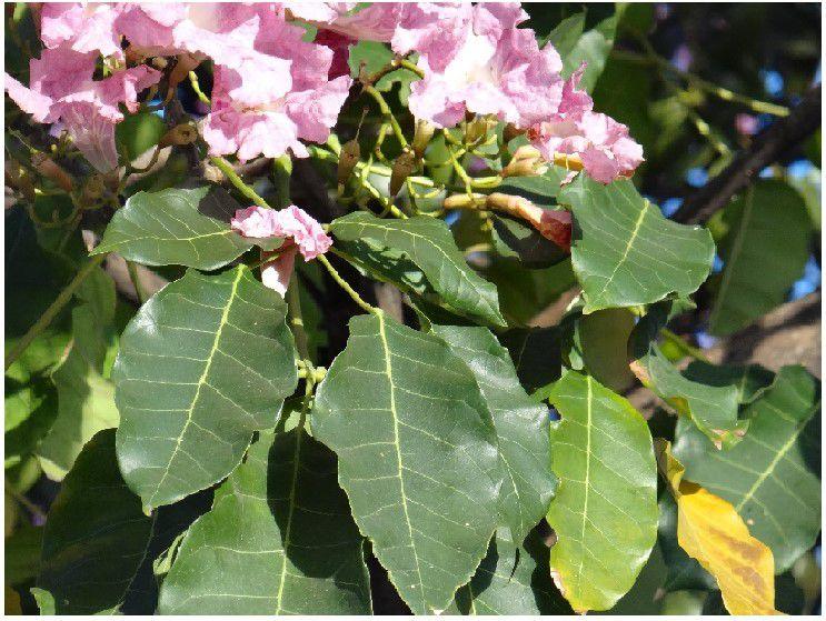 Sementes de Ipê Rosa Bálsamo - Tabebuia pentaphylla - Mundo das Sementes