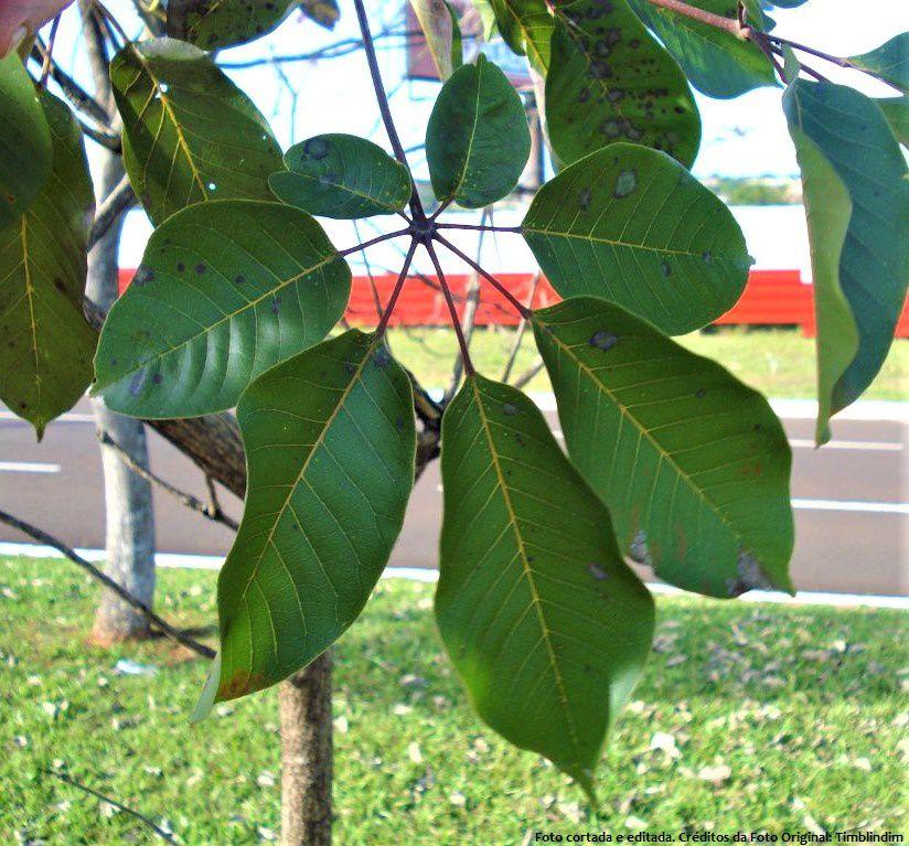 Sementes de Ipê Roxo - Tabebuia heptaphylla - Mundo das Sementes