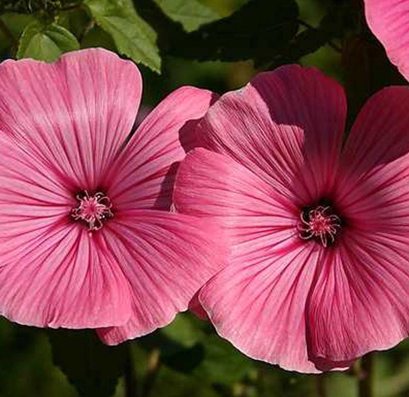 Sementes de Lavatera Sortida Ou Flor De Bispo - Feltrin