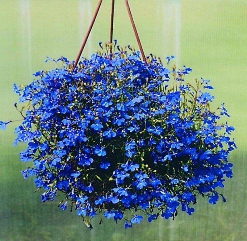 Sementes de Lobélia Azul Cristal Palace - Feltrin