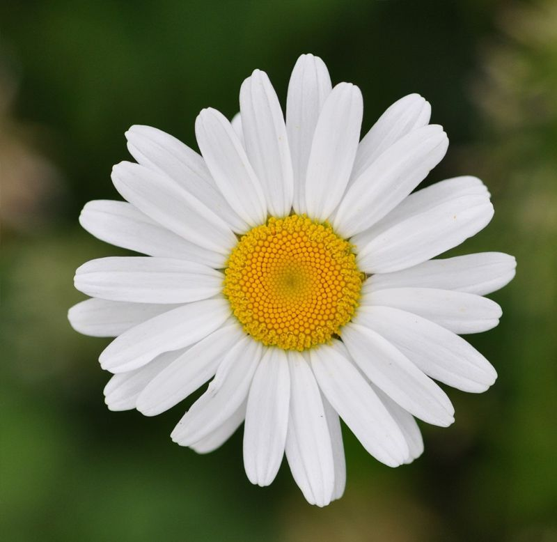 Sementes de Margarida Gigante Branca - Feltrin