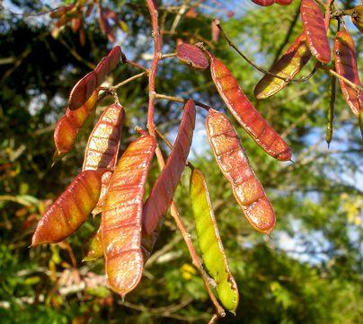 Sementes de Maricá (Árvore) - Mimosa bimucronata - Mundo das Sementes