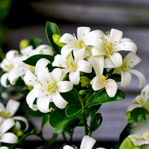 Sementes de Murta de Cheiro - Murraya Paniculata - Mundo das Sementes