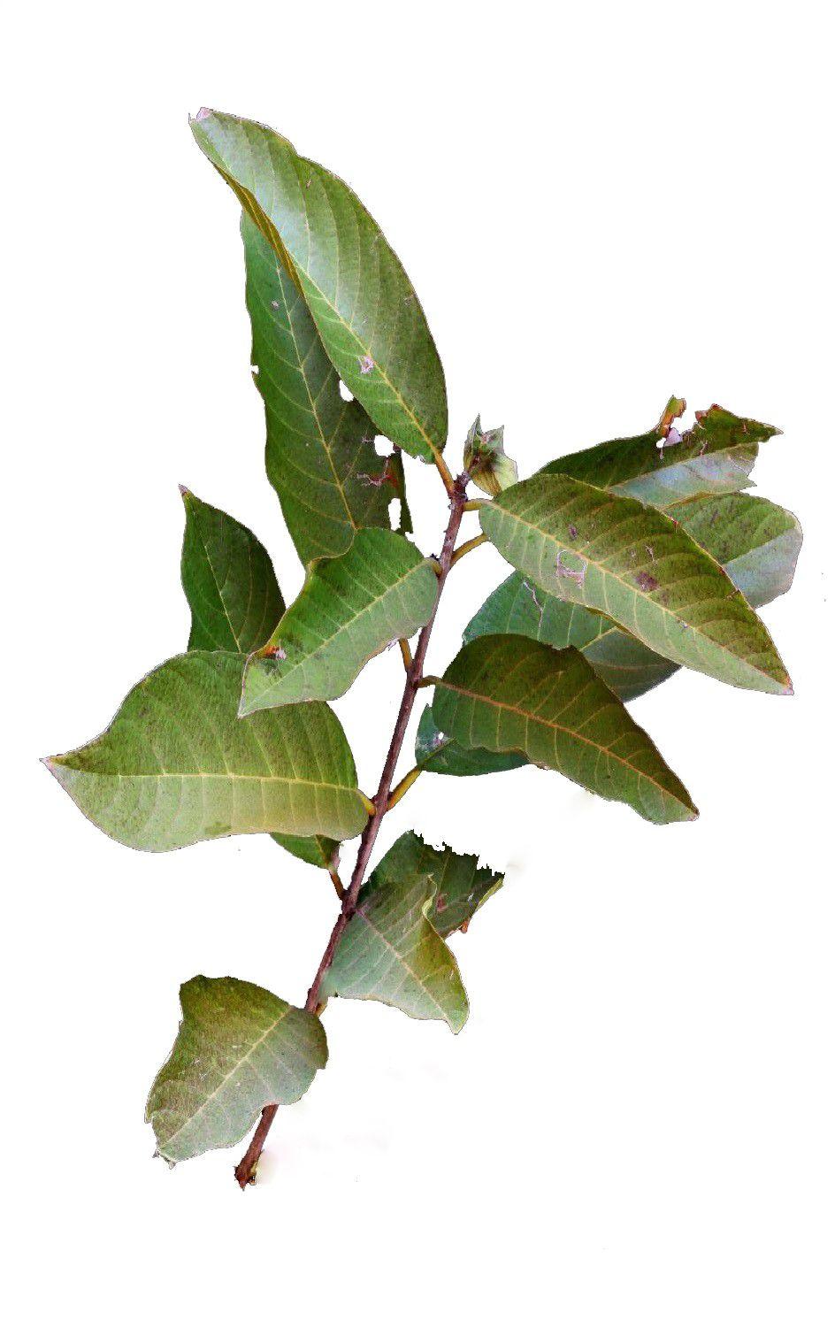 Sementes de Pau de Rosas / Resedá Nacional - Physocalymma scaberrimum - Mundo das Sementes