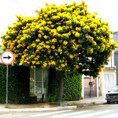 Sementes de Pau Fava / Fedegoso - Senna macranthera - Mundo das Sementes