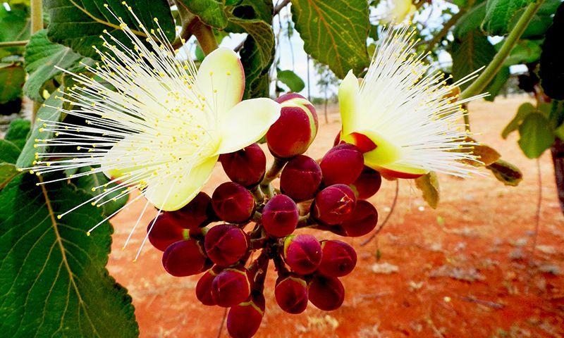 Sementes de Pequi - Caryocar brasiliense - Mundo das Sementes
