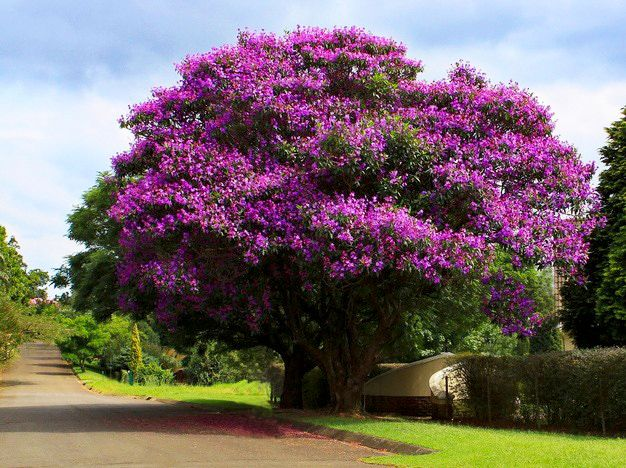 Sementes de Quaresmeira  - Tibouchina granulosa - Mundo das Sementes