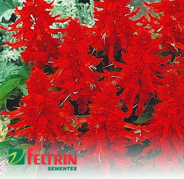 Sementes de Sálvia Bola de Fogo Vermelha ou Alegria  de Jardim - Feltrin