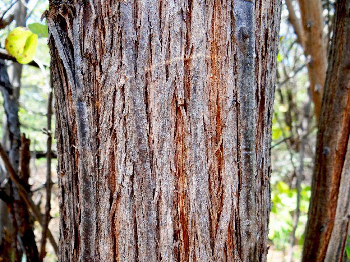 Sementes de Sansão do Campo (Arbusto) - Mimosa caesalpiniifolia - Mundo das Sementes
