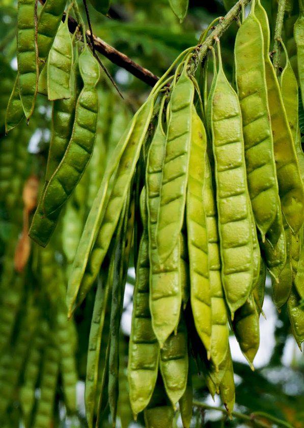 Sementes de Sansão do Campo - Mimosa caesalpiniifolia - Mundo das Sementes