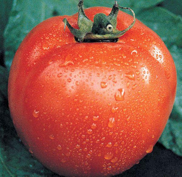 Sementes de Tomate Santa Clara 5800 - Feltrin