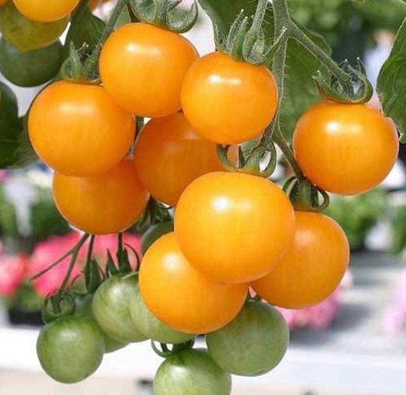 Sementes de Tomate Yashi - Feltrin