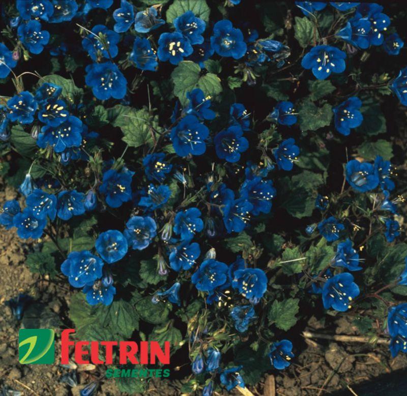 Sementes de Facélia Azul - Feltrin
