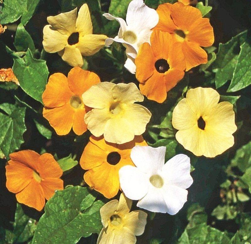 Sementes de Tumbergia Trepadeira Sortida - Feltrin