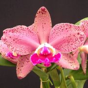 Blc. Durigan Hercules - Adulta