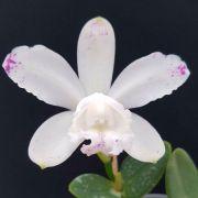 C. Intermedia Albercens Puncutata - Adulta