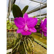 Cattleya Walkeriana Feiticeira - Tamanho 1