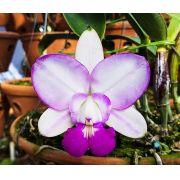 Cattleya Walkeriana S/A Perfect Blush - Tamanho 1