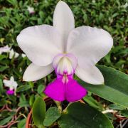 Cattleya Walkeriana S/A Tokio n1 - Adulta