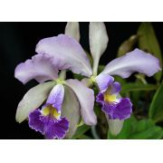 Cattleya Whitei Coerulea - Adulta