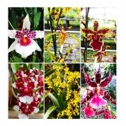 KIT 5 Mudas  ORQUIDEA ONCIDIUM