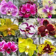 kit 5 Mudas Orquídea Phalaenopsis