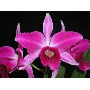 Laelia Purpurata Flamea - Adulta