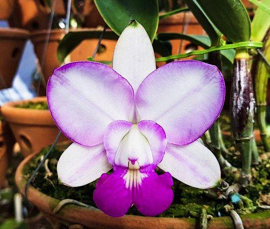 Cattleya Walkeriana S/A Perfect Blush - Tamanho 1  - ORQUIDEA GARDEN
