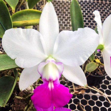 Cattleya Walkeriana S/A Tokio N 1 - Tamanho 3  - ORQUIDEA GARDEN
