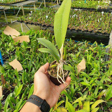 Oncidium Windward Beauty Waianae - Tamanho 3  - ORQUIDEA GARDEN