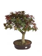 Bonsai Acer Palmatum 24 anos