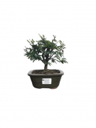 Bonsai Caliandra Rosa 03 anos