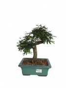 Bonsai Caliandra Rosa 08 anos