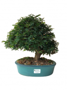 Bonsai Caliandra Rosa 14 anos