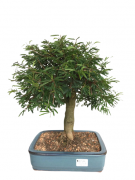 Bonsai Caliandra Rosa 16 anos