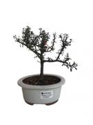 Bonsai Cotoneaster 03 anos