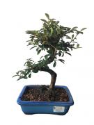 Bonsai Cotoneaster 06 anos