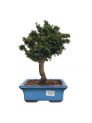 Bonsai Cryptoméria Japônica (Bombril) 07 anos