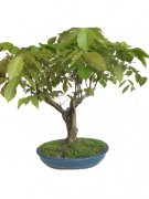 Bonsai Glicinia 21 anos