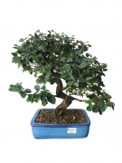 Bonsai Loropetalum 16 anos