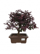 Bonsai Loropetalum Rubrum 07 anos