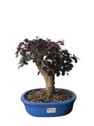Bonsai Loropetalum Rubrum 14 anos