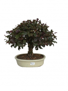 Bonsai Loropetalum Rubrum 16 anos